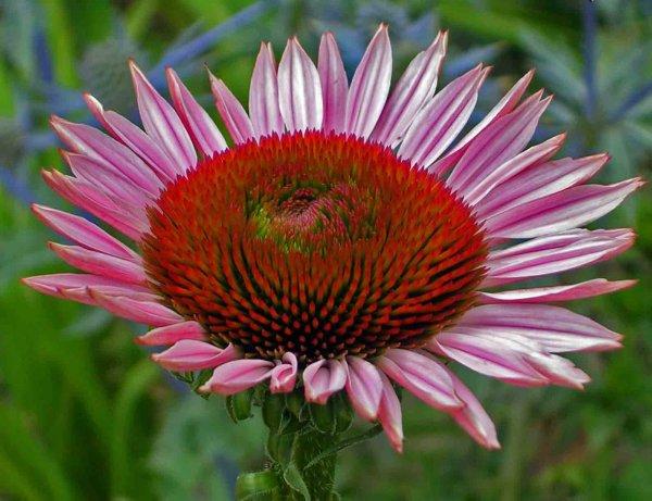 fiore rosa echinacea