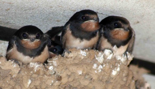 Uccelli nido