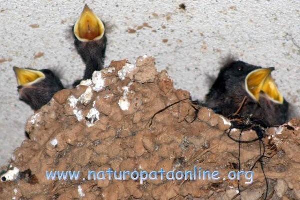 uccellini nido