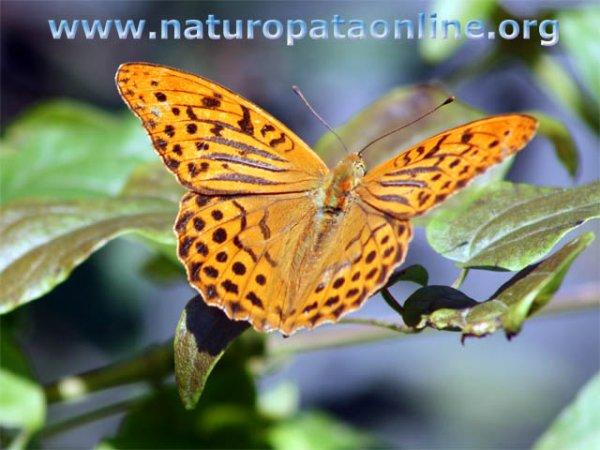 Farfalla betulla