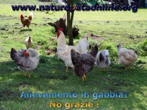 galline libere