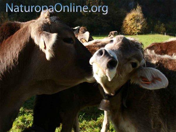 mucche valsassina