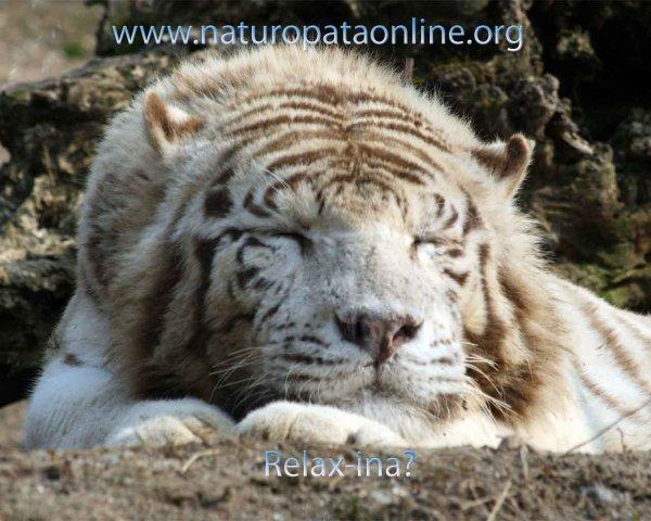 Tigre bianca che dorme