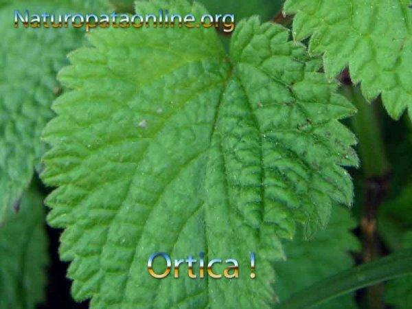 Foglia verde ortica