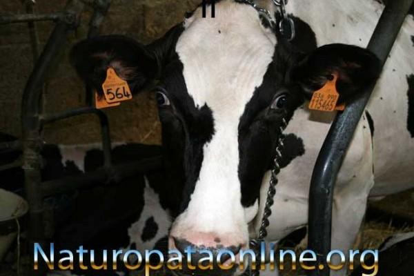 controllo peso mucca da latte in allevamento costretto