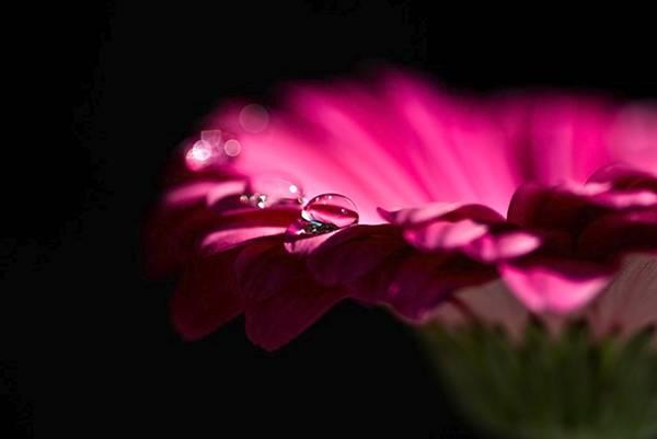 fiore rosa goccia acqua