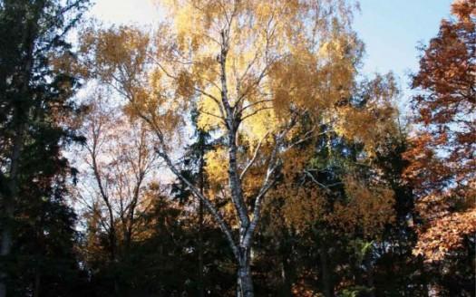 alberi betulla