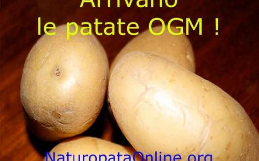 patate ogm