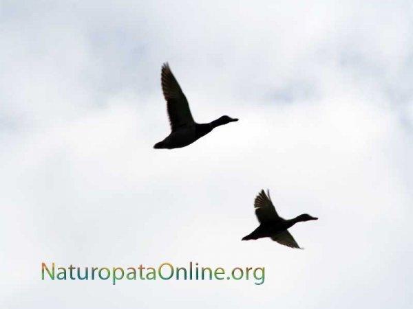 Uccelli in volo comunicano