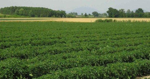 campo coltivato verde