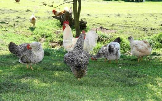 galline libere prato