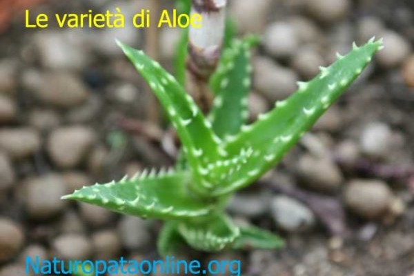 Pianta aloe in terra