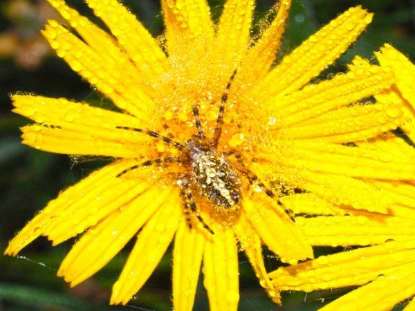 Fiore giallo arnica montana con ragno