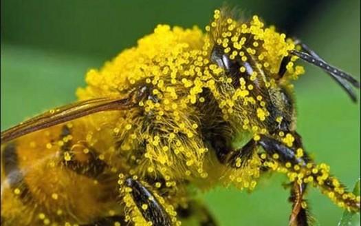 ape polline