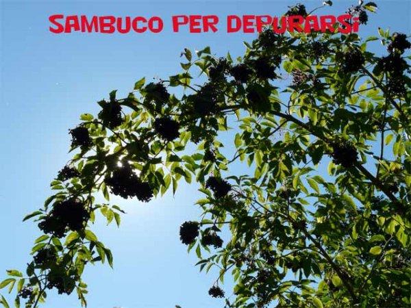 pianta sambuco