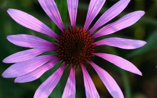 Fiore echinacea purpurea