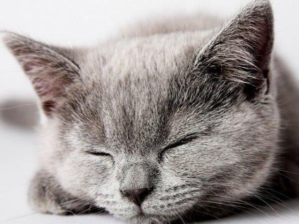 stanchezza primaverile gatto grigio