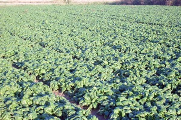 nitrati ortaggi verdure