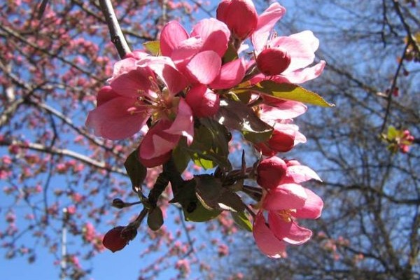 Fiori Crab apple melo selvatico