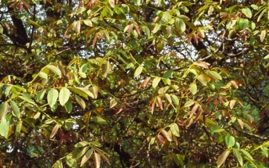 walnut fronde
