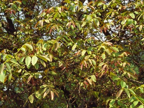 Fiore di bach walnut