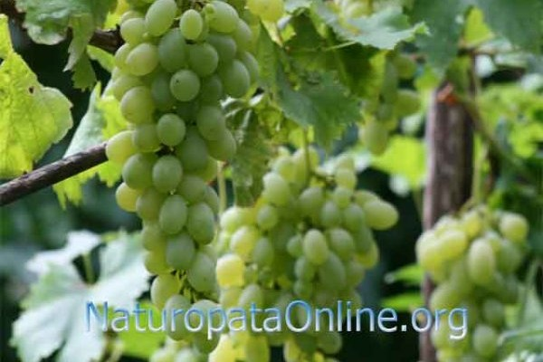 uva bianca settembre