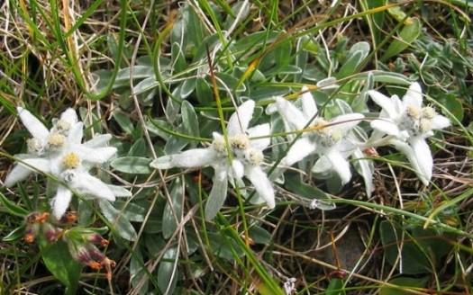 stella alpina antiossidante