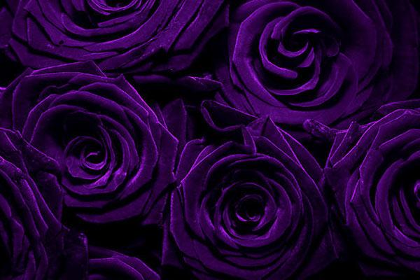 colore-viola-rosa