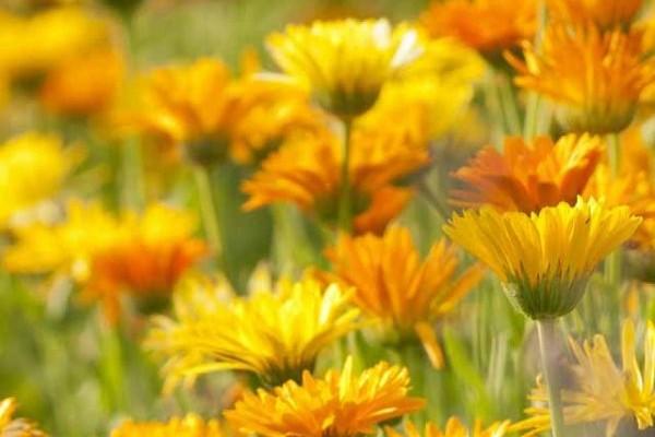 fiori-calendula-campo