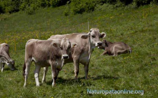 mucche-proteine