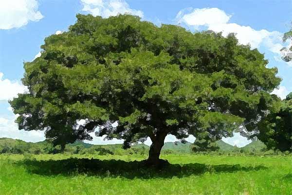 copaiba-albero
