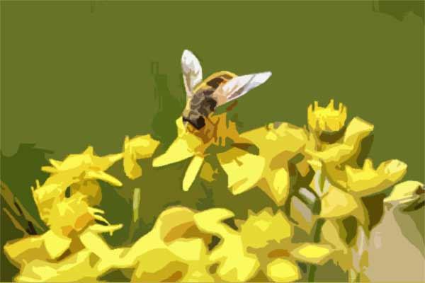 polline-ape