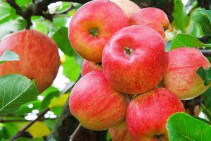 mele-ramo-pianta