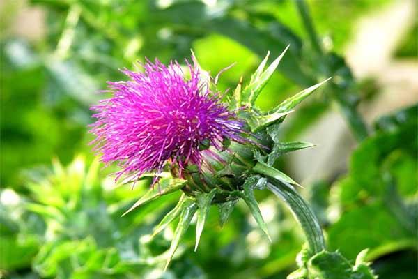 cardo-mariano-fiore