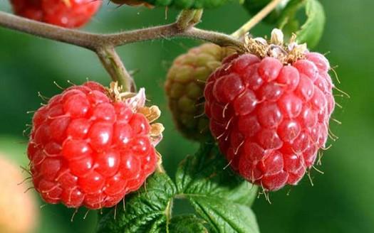 lamponi-frutto-pianta