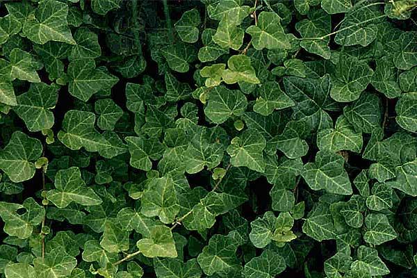edera-pianta-cellulite