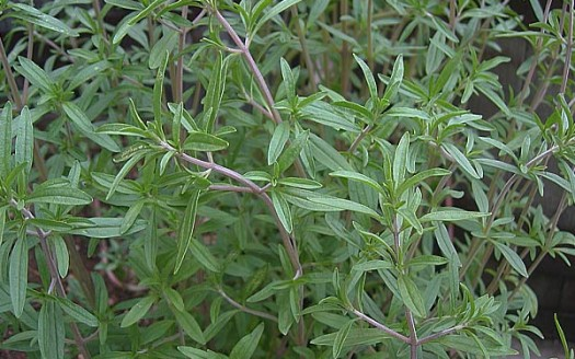 Santoreggia o satureja hortensis propriet terapeutiche e - Pianta di una cucina ...