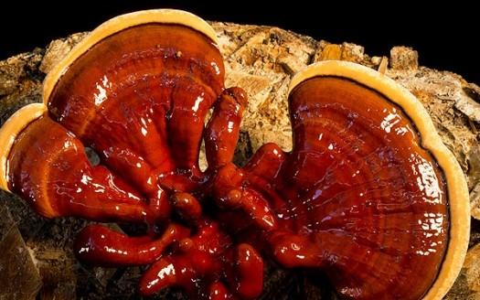 reishi-fungo
