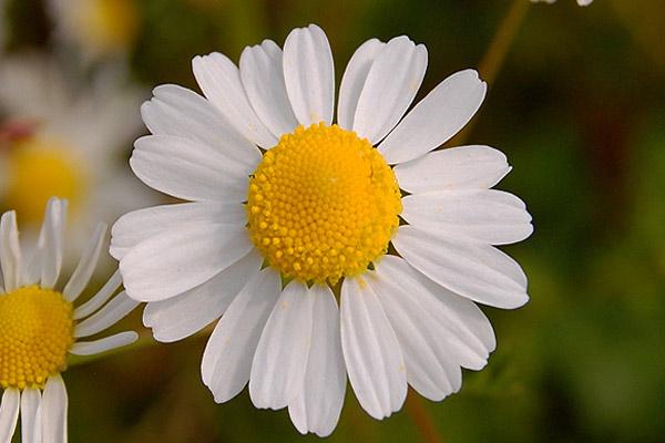 camomilla-pianta