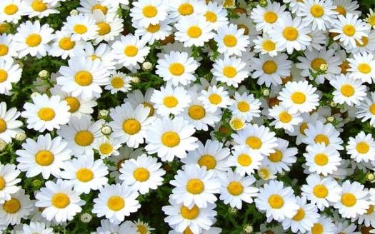 Margherita di campo o bellis perennis fiore ricco di for Margherita pianta