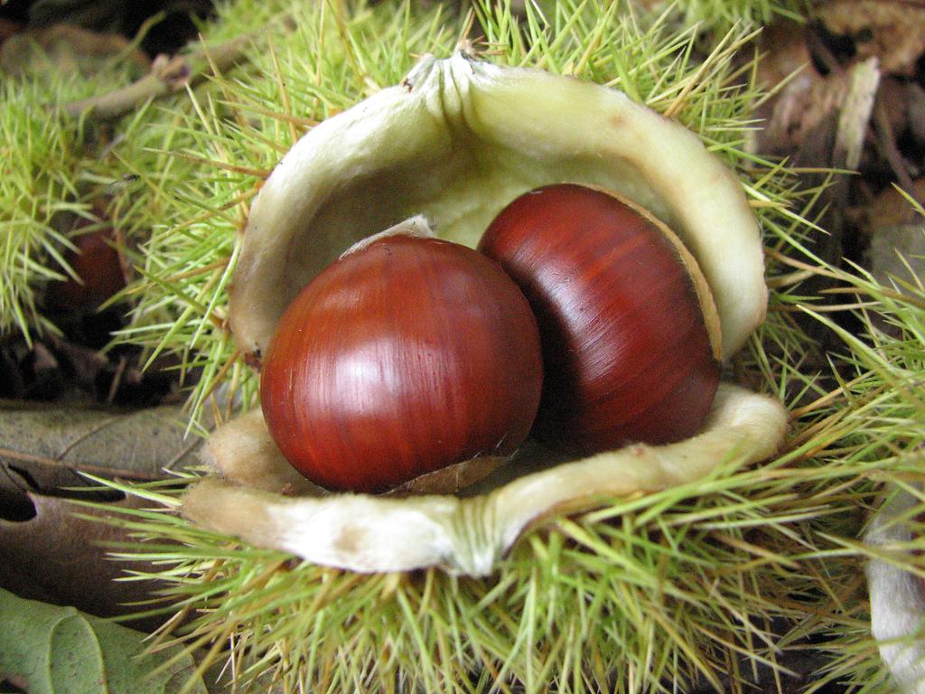 Castagne propriet e valori nutrizionali naturopataonline - Disegni di castagne ...