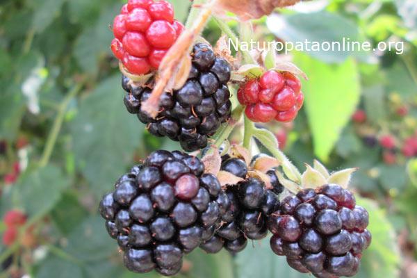 More_di_rovo_Rubus_fruticosus