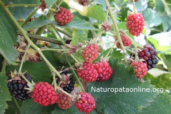 Rubus_fruticosus