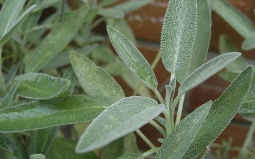Salvia-officinalis