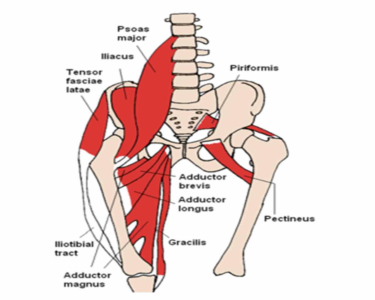 Muscolo iliaco e psoas