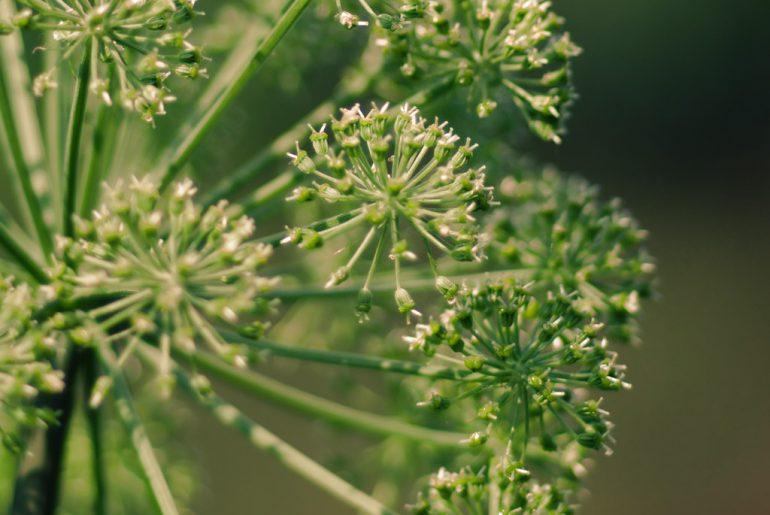 Le proprietà del Dong Quai o angelica Sinensis, una pianta utile per mestruazioni dolorose, per migliorare la fertilità e contro la menopausa