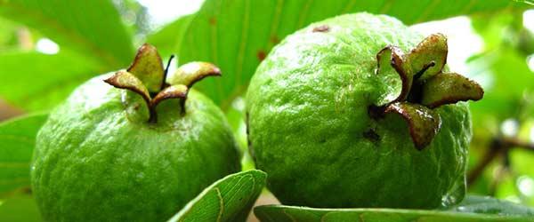 Guava foglie