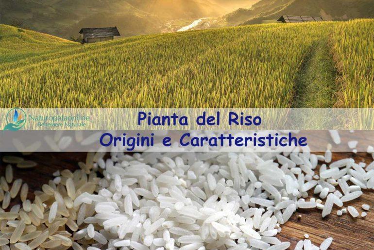 Pianta del riso origini e caratteristiche