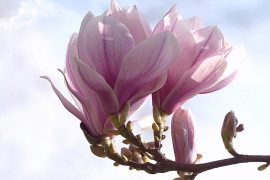 olio-essenziale-di-magnolia