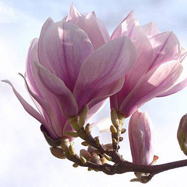 Olio essenziale di magnolia: proprietà e usi
